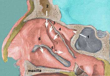 Sinus-drainage