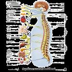 Définition de la chiropratique
