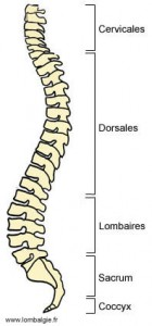Colonne vertébrale vue latérale