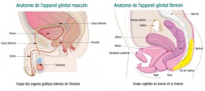 Bassin-organes génitaux jpg